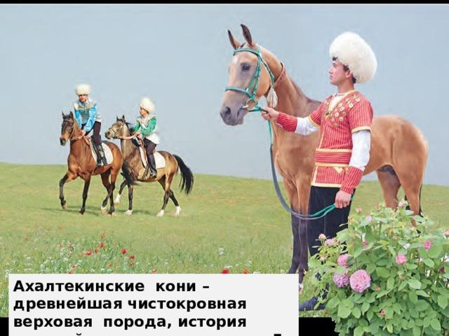 Ахалтекинские кони – древнейшая чистокровная верховая порода, история которой насчитывает около 5 000 лет.