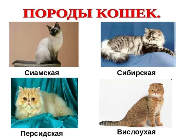 Сиамская Сибирская Вислоухая Персидская