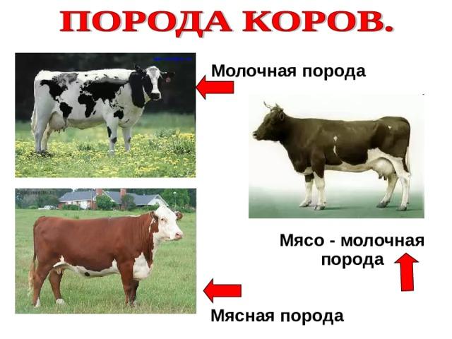 Молочная порода Мясо - молочная порода Мясная порода