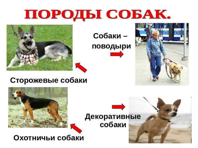 Собаки – поводыри Сторожевые собаки Декоративные собаки Охотничьи собаки