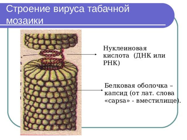 Строение вируса табачной мозаики Нуклеиновая кислота (ДНК или РНК) Белковая оболочка – капсид (от лат. слова « capsa » - вместилище).