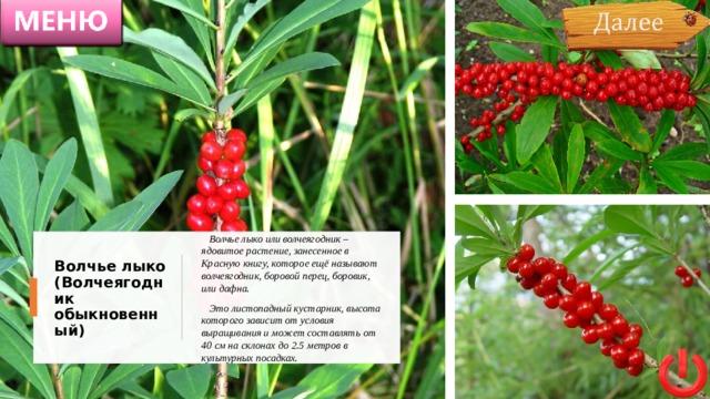 Волчье лыко или волчеягодник – ядовитое растение, занесенное в Красную книгу, которое ещё называют волчеягодник, боровой перец, боровик, или дафна.  Это листопадный кустарник, высота которого зависит от условия выращивания и может составлять от 40 см на склонах до 2.5 метров в культурных посадках. Волчье лыко (Волчеягодник обыкновенный)