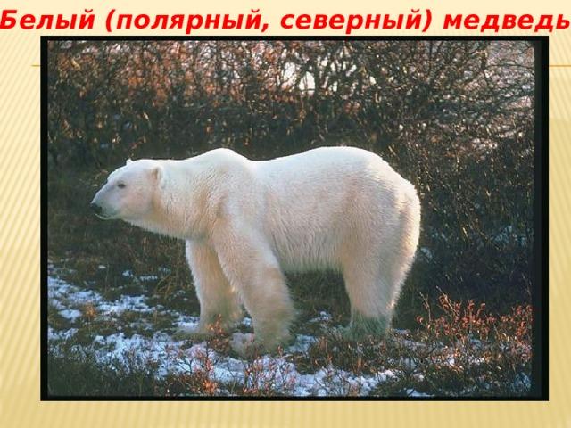 Белый (полярный, северный) медведь