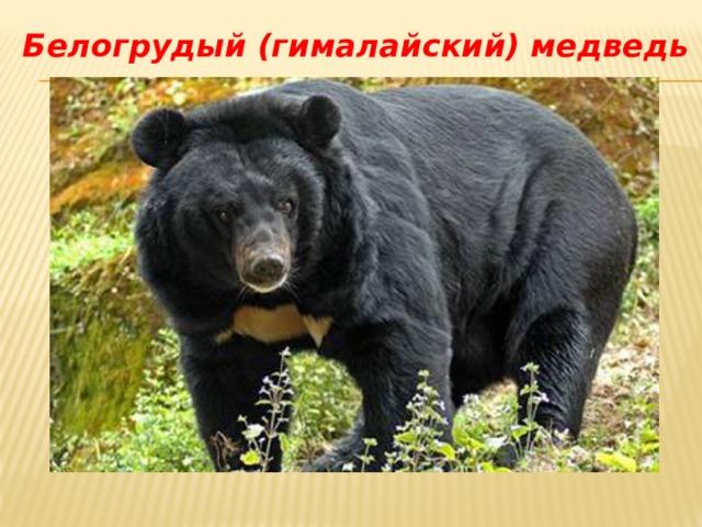 Белогрудый (гималайский) медведь