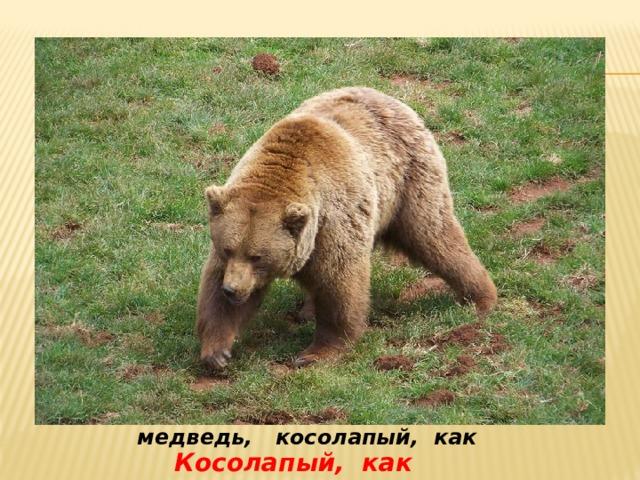 медведь, косолапый, как  Косолапый, как медведь
