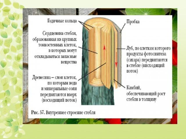 Функции стебля: