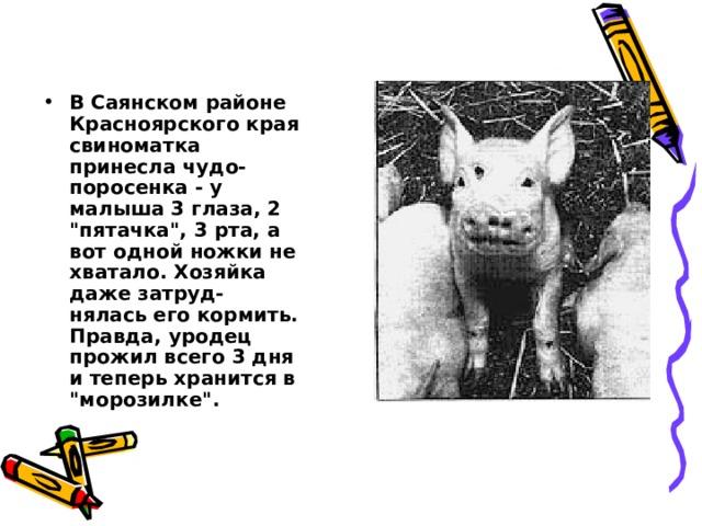 В Саянском районе Красноярского края свиноматка принесла чудо-поросенка - у малыша 3 глаза, 2