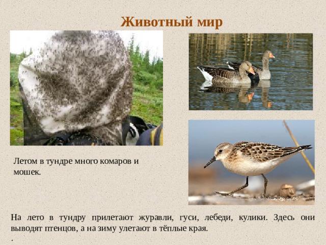 Животный мир Летом в тундре много комаров и мошек. На лето в тундру прилетают журавли, гуси, лебеди, кулики. Здесь они выводят птенцов, а на зиму улетают в тёплые края. .