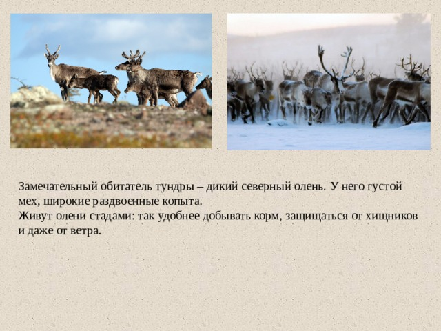 Замечательный обитатель тундры – дикий северный олень. У него густой мех, широкие раздвоенные копыта. Живут олени стадами: так удобнее добывать корм, защищаться от хищников и даже от ветра.