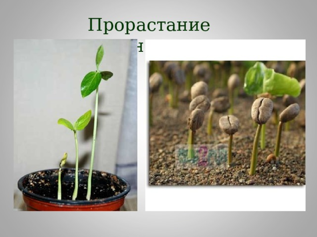 Прорастание семян Семядоли семядоли