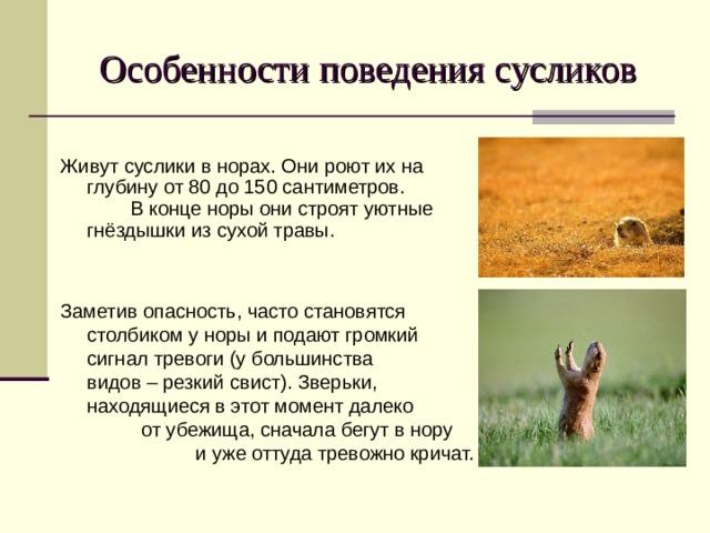 Особенности поведения сусликов Живут суслики в норах. Они роют их на глубину от 80 до 150 сантиметров. В конце норы они строят уютные гнёздышки из сухой травы. Заметив опасность, часто становятся столбиком у норы и подают громкий сигнал тревоги (у большинства видов – резкий свист). Зверьки, находящиеся в этот момент далеко от убежища, сначала бегут в нору и уже оттуда тревожно кричат.