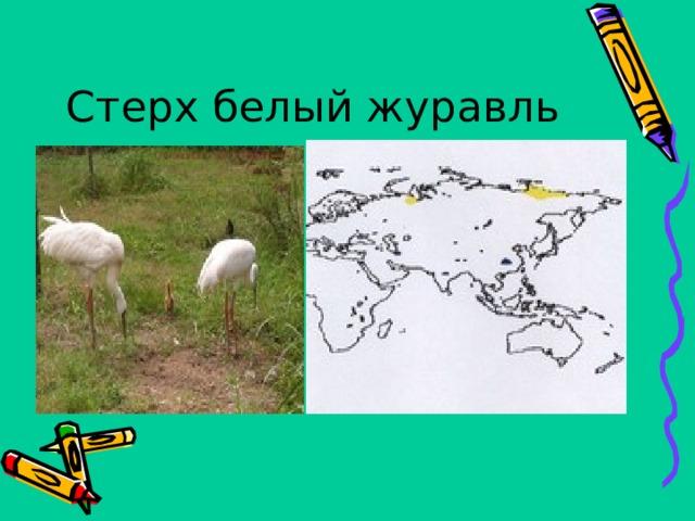 Стерх белый журавль