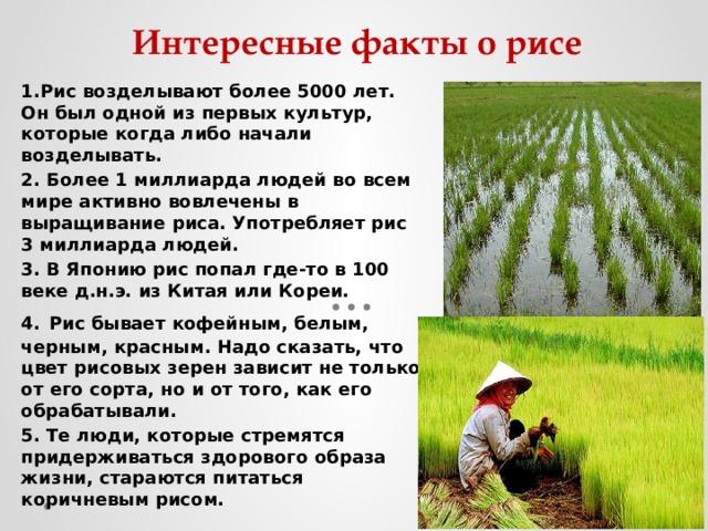 Интересные факты о рисе 1.Рис возделывают более 5000 лет. Он был одной из первых культур, которые когда либо начали возделывать. 2. Более 1 миллиарда людей во всем мире активно вовлечены в выращивание риса. Употребляет рис 3 миллиарда людей. 3. В Японию рис попал где-то в 100 веке д.н.э. из Китая или Кореи. 4.  Рис бывает кофейным, белым, черным, красным. Надо сказать, что цвет рисовых зерен зависит не только от его сорта, но и от того, как его обрабатывали. 5. Те люди, которые стремятся придерживаться здорового образа жизни, стараются питаться коричневым рисом.