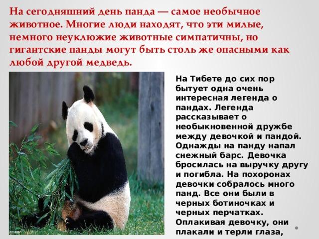 На сегодняшний день панда — самое необычное животное. Многие люди находят, что эти милые, немного неуклюжие животные симпатичны, но гигантские панды могут быть столь же опасными как любой другой медведь. На Тибете до сих пор бытует одна очень интересная легенда о пандах. Легенда рассказывает о необыкновенной дружбе между девочкой и пандой. Однажды на панду напал снежный барс. Девочка бросилась на выручку другу и погибла. На похоронах девочки собралось много панд. Все они были в черных ботиночках и черных перчатках. Оплакивая девочку, они плакали и терли глаза, также хватались за голову. Поэтому у панд черные уши и круги под глазами.