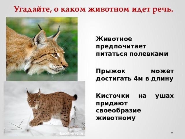 Угадайте, о каком животном идет речь. Животное предпочитает питаться полевками  Прыжок может достигать 4м в длину  Кисточки на ушах придают своеобразие животному