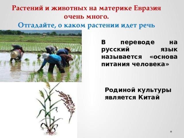 Растений и животных на материке Евразия очень много.  Отгадайте, о каком растении идет речь В переводе на русский язык называется «основа питания человека»  Родиной культуры является Китай
