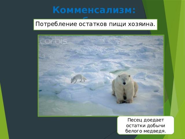 Комменсализм: нахлебничество Потребление остатков пищи хозяина. Песец доедает остатки добычи белого медведя.