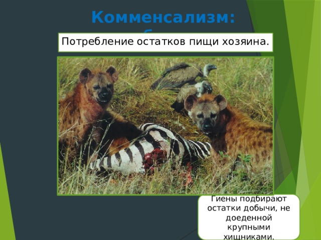 Комменсализм: нахлебничество Потребление остатков пищи хозяина. Гиены подбирают остатки добычи, не доеденной крупными хищниками.