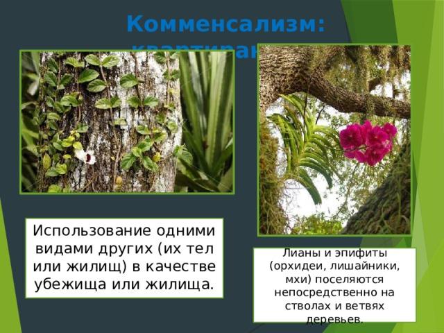 Комменсализм: квартиранство Использование одними видами других (их тел или жилищ) в качестве убежища или жилища. Лианы и эпифиты (орхидеи, лишайники, мхи) поселяются непосредственно на стволах и ветвях деревьев.