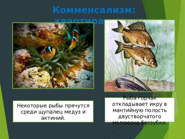 Комменсализм: квартиранство Рыба горчак откладывает икру в мантийную полость двустворчатого моллюска беззубки. Некоторые рыбы прячутся среди щупалец медуз и актиний.