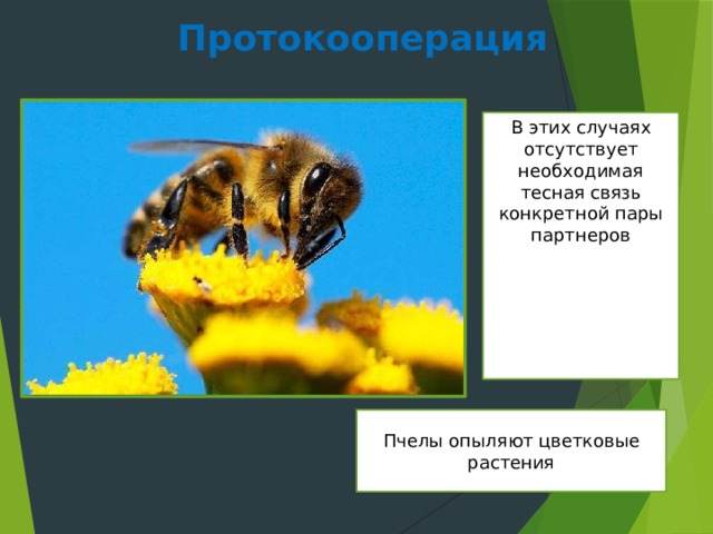 Протокооперация В этих случаях отсутствует необходимая тесная связь конкретной пары партнеров Пчелы опыляют цветковые растения
