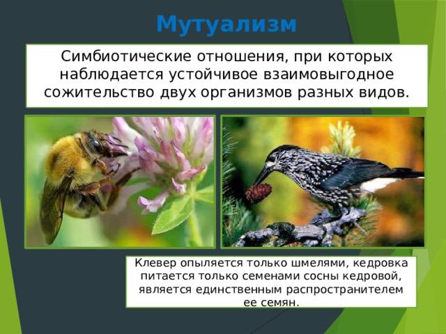 Мутуализм Симбиотические отношения, при которых наблюдается устойчивое взаимовыгодное сожительство двух организмов разных видов. Клевер опыляется только шмелями, кедровка питается только семенами сосны кедровой, является единственным распространителем ее семян.