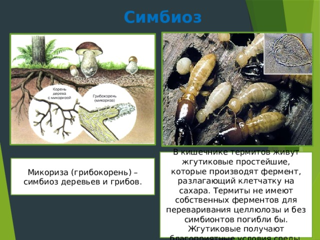Симбиоз В кишечнике термитов живут жгутиковые простейшие, которые производят фермент, разлагающий клетчатку на сахара. Термиты не имеют собственных ферментов для переваривания целлюлозы и без симбионтов погибли бы. Жгутиковые получают благоприятные условия среды. Микориза (грибокорень) – симбиоз деревьев и грибов.