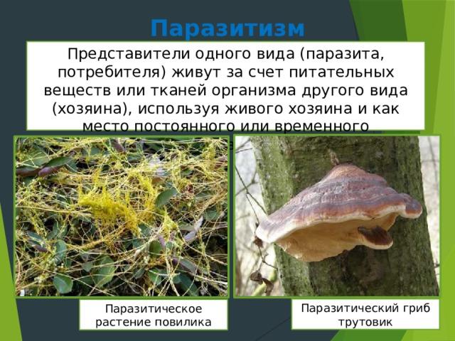 Паразитизм Представители одного вида (паразита, потребителя) живут за счет питательных веществ или тканей организма другого вида (хозяина), используя живого хозяина и как место постоянного или временного проживания. Паразитический гриб трутовик Паразитическое растение повилика
