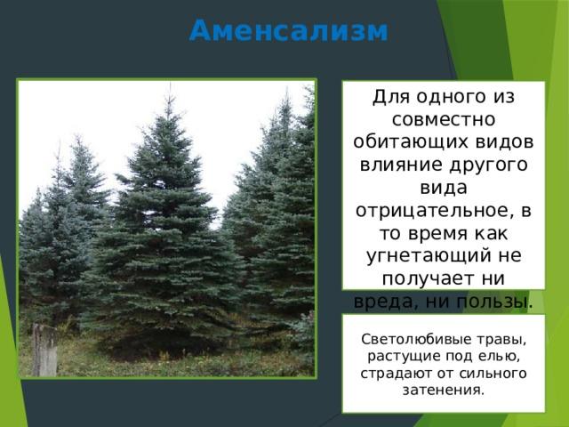 Аменсализм Для одного из совместно обитающих видов влияние другого вида отрицательное, в то время как угнетающий не получает ни вреда, ни пользы. Светолюбивые травы, растущие под елью, страдают от сильного затенения.