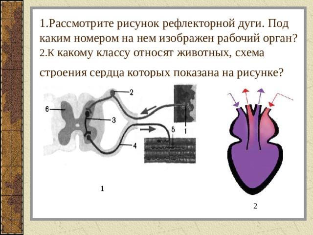 1.Рассмотрите рисунок рефлекторной дуги. Под каким номером на нем изображен рабочий орган?  2.К какому классу относят животных, схема строения сердца которых показана на рисунке?  1 2