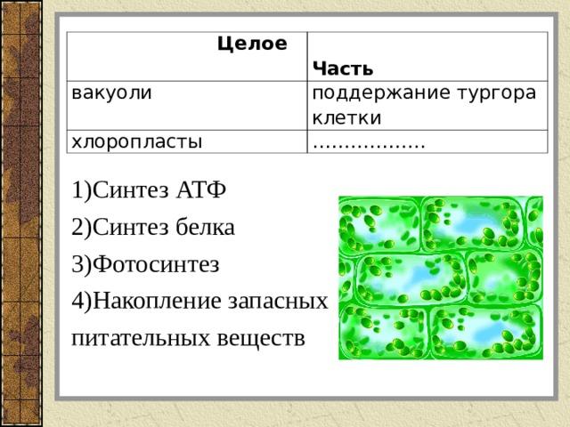 1)Синтез АТФ 2)Синтез белка 3)Фотосинтез 4)Накопление запасных питательных веществ  Целое  Часть вакуоли поддержание тургора клетки хлоропласты ………………