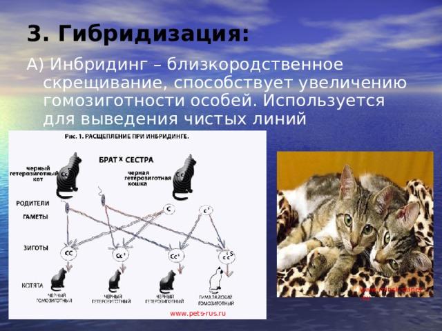 3. Гибридизация: А) Инбридинг – близкородственное скрещивание, способствует увеличению гомозиготности особей. Используется для выведения чистых линий www . minsk.slanet.by www . pets-rus.ru