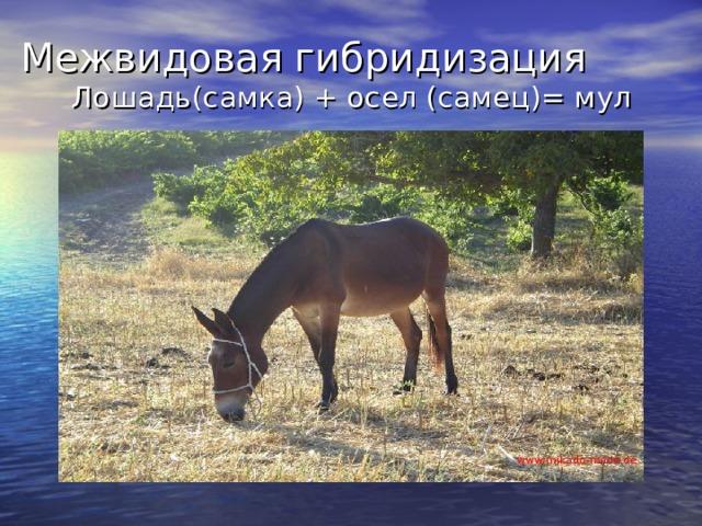 Межвидовая гибридизация Лошадь(самка) + осел (самец)= мул www:mikado-mode.de