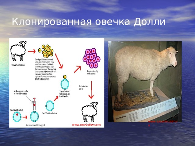 Клонированная овечка Долли www . susanin.udm.ru www . novostey.com