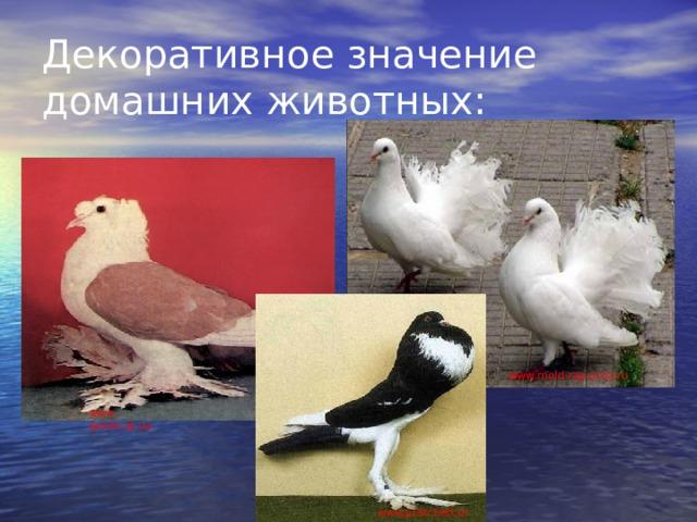 Декоративное значение домашних животных: www . mold-rap.ucoz.ru www . golubi.at.ua www.pratchett.org