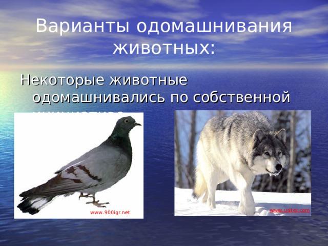 Варианты одомашнивания животных: Некоторые животные одомашнивались по собственной инициативе www . usiter.com www . 900igr.net