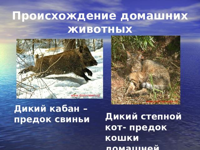 Происхождение домашних животных www . dozornews.ru www . animalsarea.ru Дикий кабан – предок свиньи Дикий степной кот- предок кошки домашней