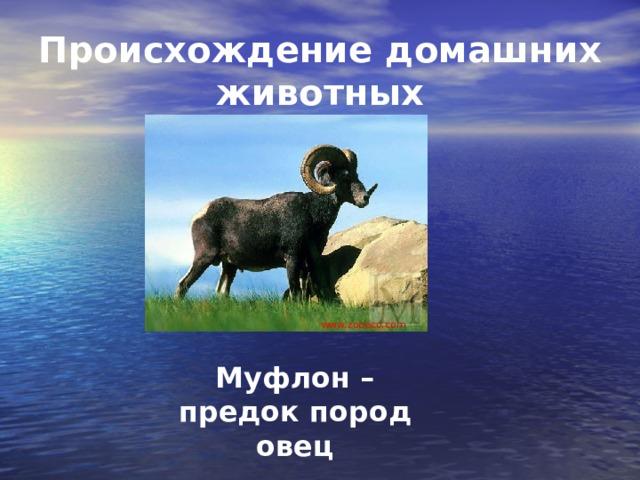 Происхождение домашних животных www.zooeco.com Муфлон – предок пород овец