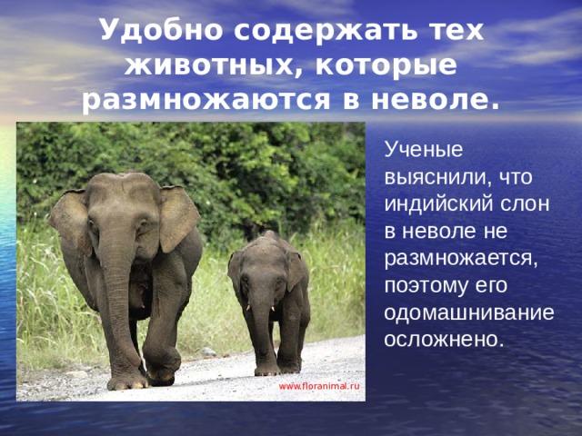 Удобно содержать тех животных, которые размножаются в неволе. Ученые выяснили, что индийский слон в неволе не размножается, поэтому его одомашнивание осложнено. www.floranimal.ru