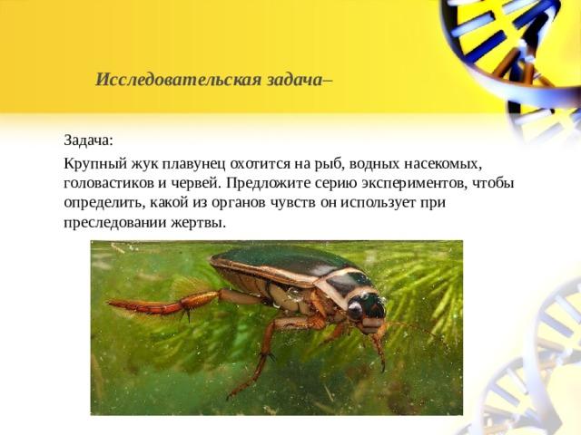 Исследовательская задача –   Задача: Крупный жук плавунец охотится на рыб, водных насекомых, головастиков и червей. Предложите серию экспериментов, чтобы определить, какой из органов чувств он использует при преследовании жертвы.