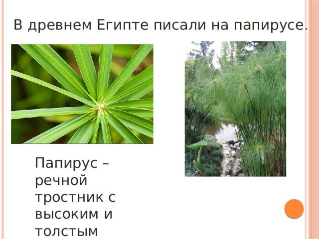 В древнем Египте писали на папирусе . Папирус – речной тростник с высоким и толстым стволом.