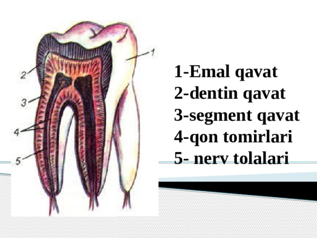 1-Emal qavat  2-dentin qavat  3-segment qavat  4-qon tomirlari 5- nerv tolalari