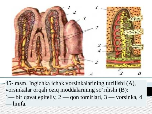 45- rasm. Ingichka ichak vorsinkalarining tuzilishi (A), vorsinkalar orqali oziq moddalarining so'rilishi (B): 1— bir qavat epiteliy, 2 — qon tomirlari, 3 — vorsinka, 4— limfa.