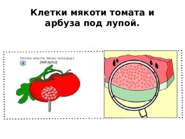 Клетки мякоти томата и арбуза под лупой.