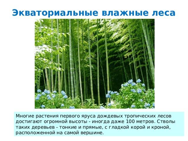 Экваториальные влажные леса Многие растения первого яруса дождевых тропических лесов достигают огромной высоты - иногда даже 100 метров. Стволы таких деревьев - тонкие и прямые, с гладкой корой и кроной, расположенной на самой вершине.