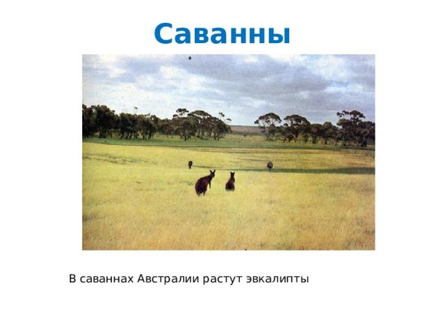Саванны В саваннах Австралии растут эвкалипты