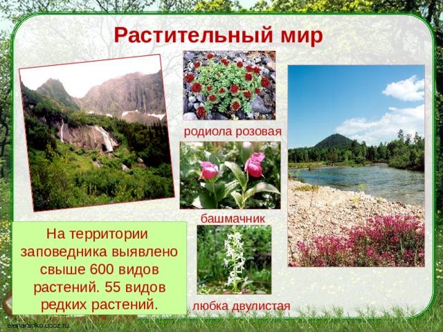 Растительный мир родиола розовая башмачник На территории заповедника выявлено свыше 600 видов растений. 55 видов редких растений. любка двулистая