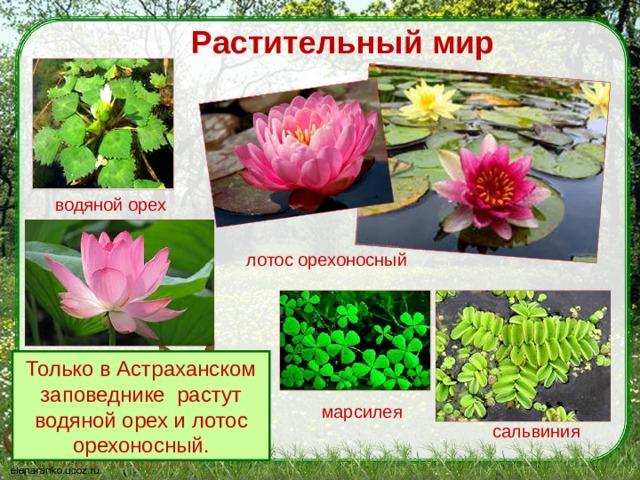 Растительный мир водяной орех лотос орехоносный Только в Астраханском заповеднике растут водяной орех и лотос орехоносный. марсилея сальвиния