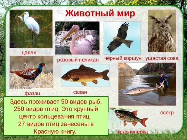 Животный мир цапля ушастая сова чёрный коршун розовый пеликан сазан фазан Здесь проживает 50 видов рыб, 250 видов птиц. Это крупный центр кольцевания птиц. 27 видов птиц занесены в Красную книгу. осётр краснопёрка