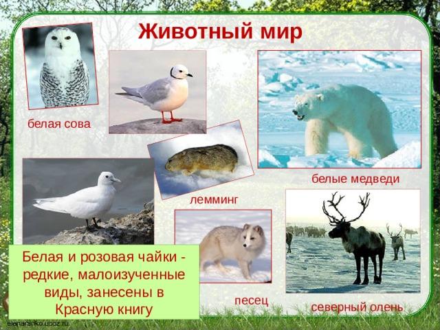 Животный мир белая сова белые медведи лемминг Белая и розовая чайки - редкие, малоизученные виды, занесены в Красную книгу песец северный олень